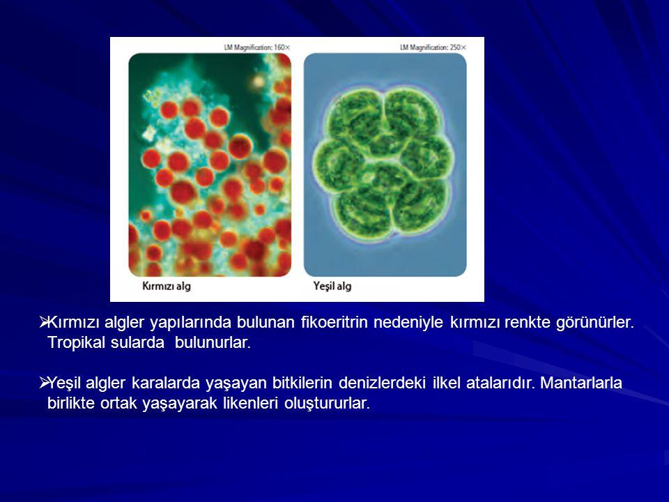 Kırmızı algler yapılarında bulunan fikoeritrin nedeniyle kırmızı renkte görünürler.
