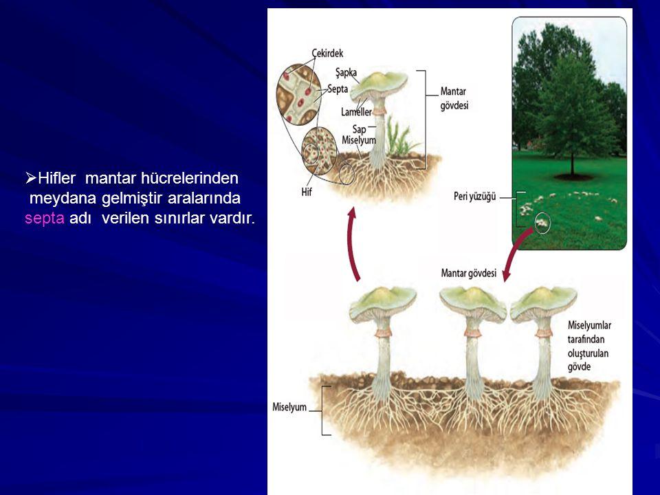 Hifler mantar hücrelerinden