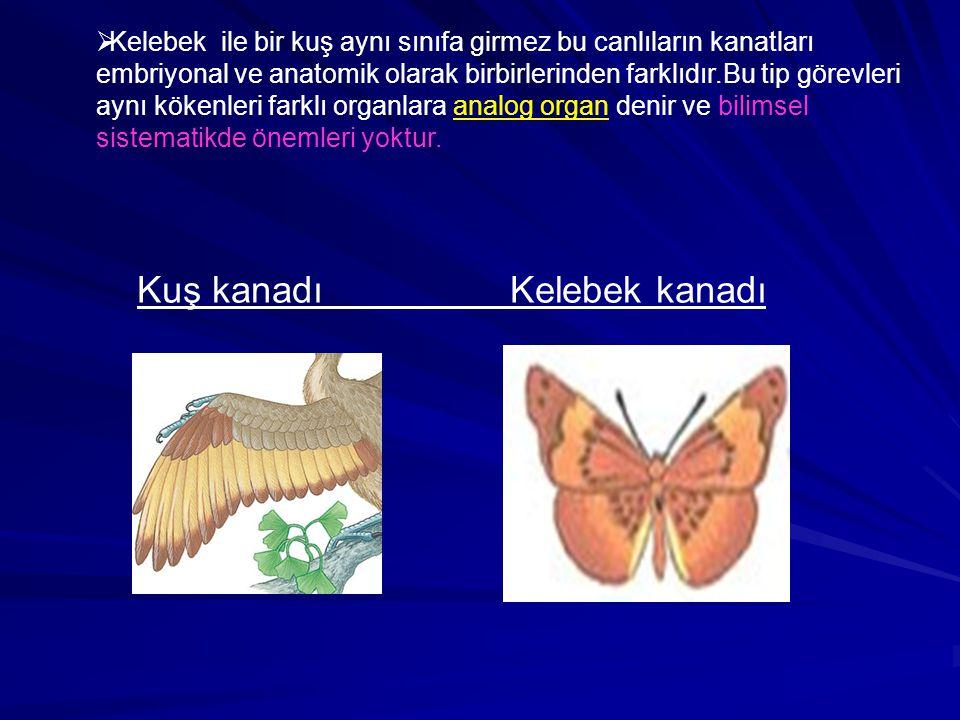 Kuş kanadı Kelebek kanadı