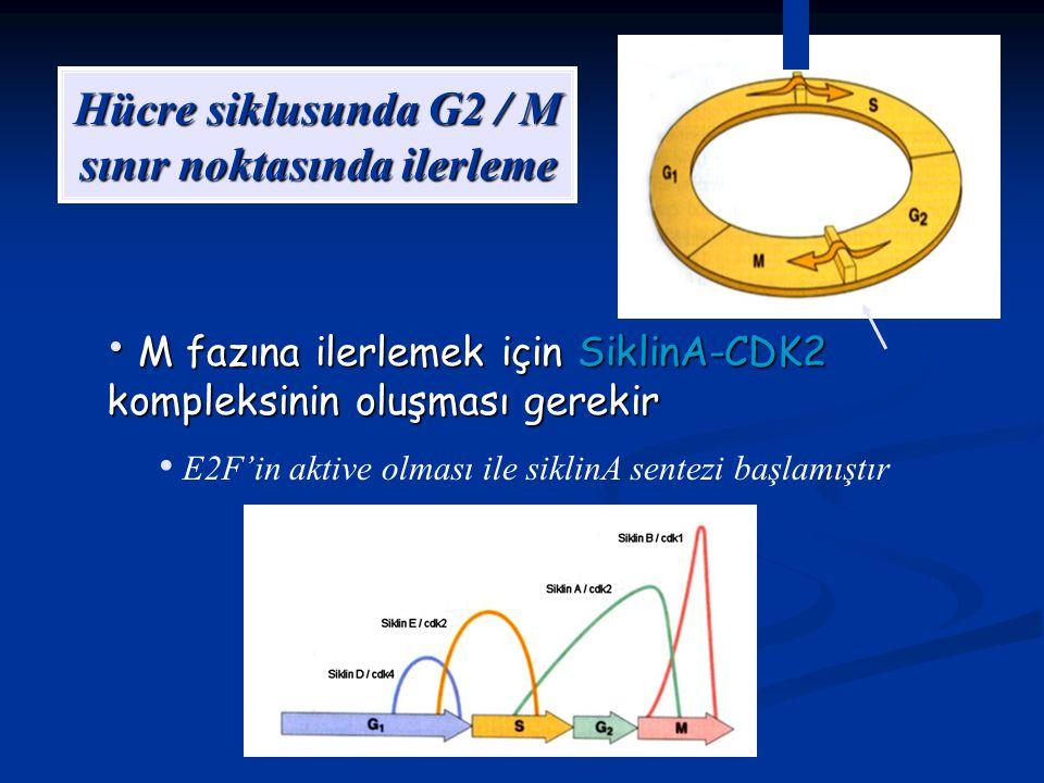 Hücre siklusunda G2 / M sınır noktasında ilerleme