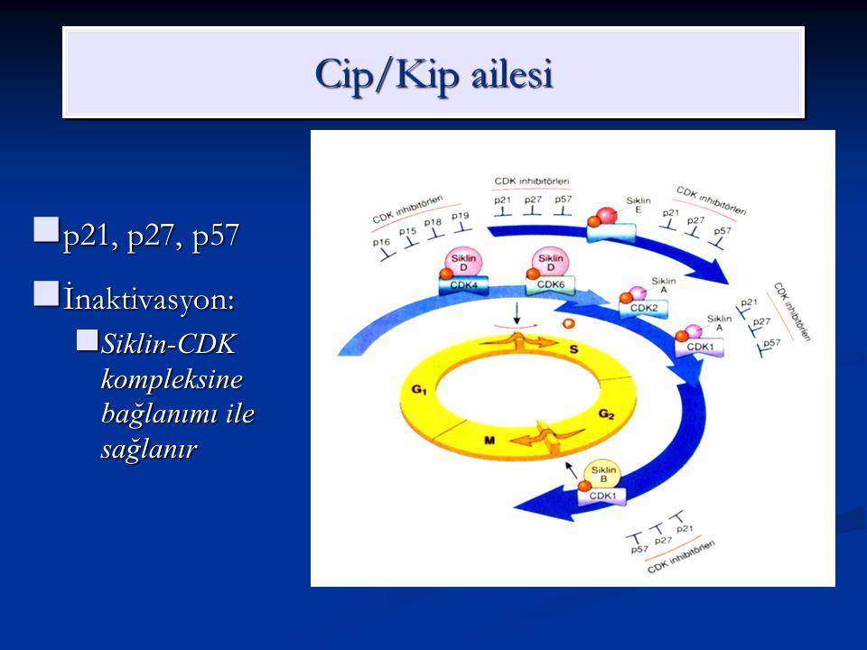 Cip/Kip ailesi p21, p27, p57 İnaktivasyon: