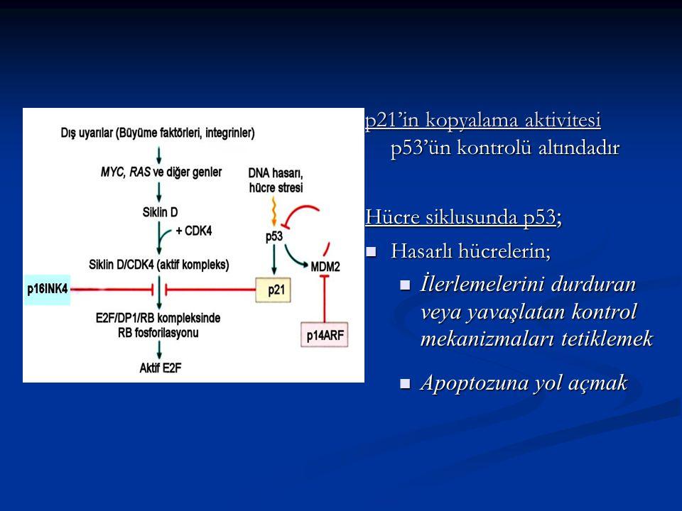 p21'in kopyalama aktivitesi p53'ün kontrolü altındadır