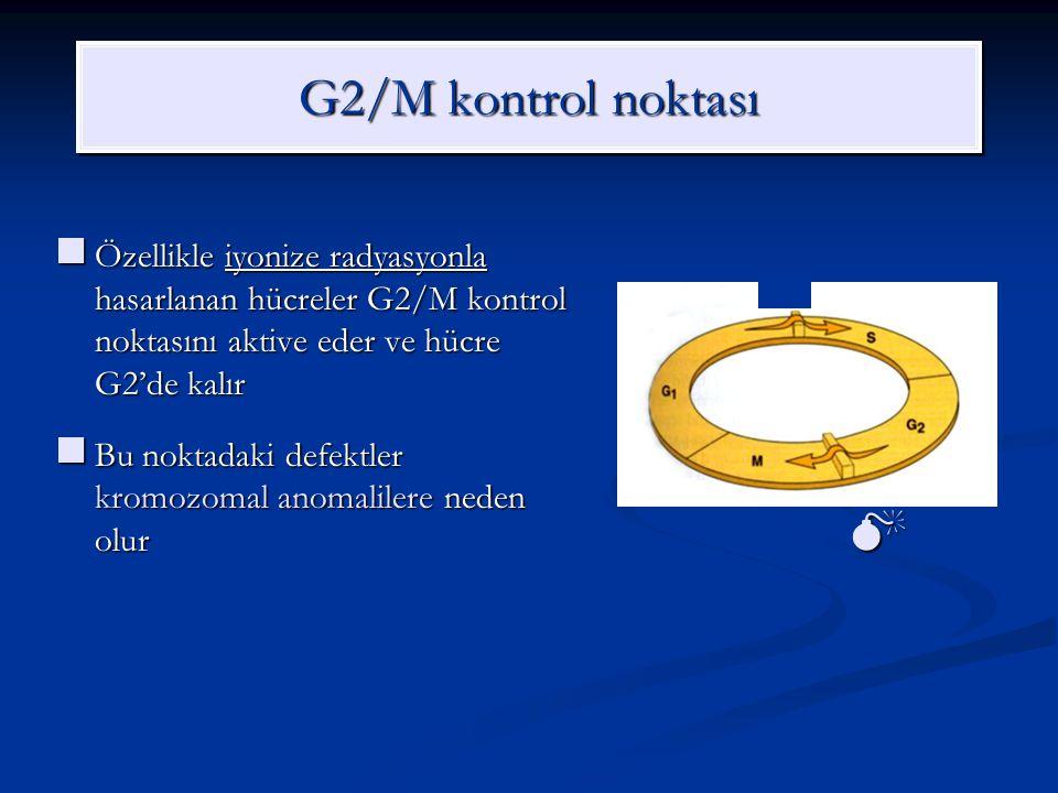 G2/M kontrol noktası Özellikle iyonize radyasyonla hasarlanan hücreler G2/M kontrol noktasını aktive eder ve hücre G2'de kalır.