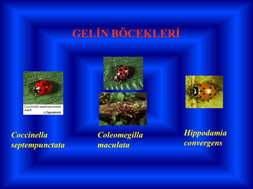 GELİN BÖCEKLERİ Hippodamia convergens Coccinella septempunctata