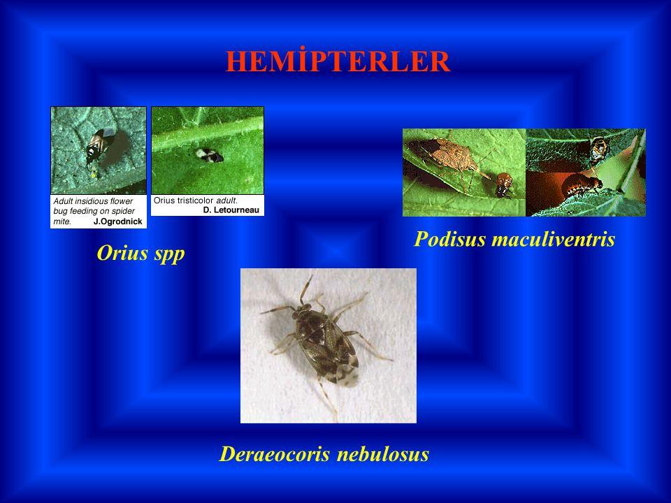 HEMİPTERLER Podisus maculiventris Orius spp Deraeocoris nebulosus