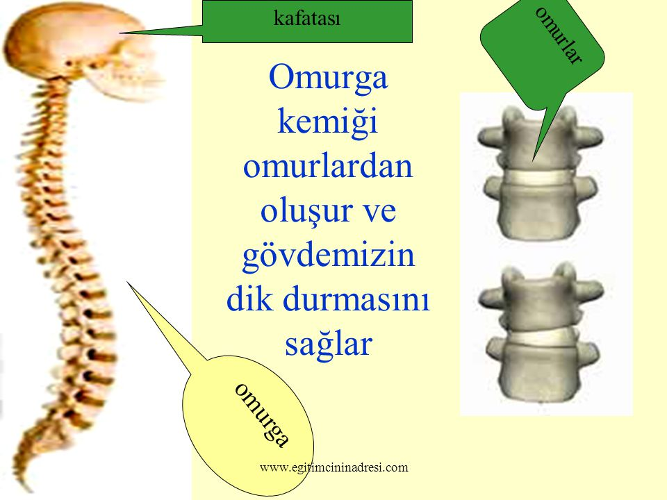 Omurga kemiği omurlardan oluşur ve gövdemizin dik durmasını sağlar