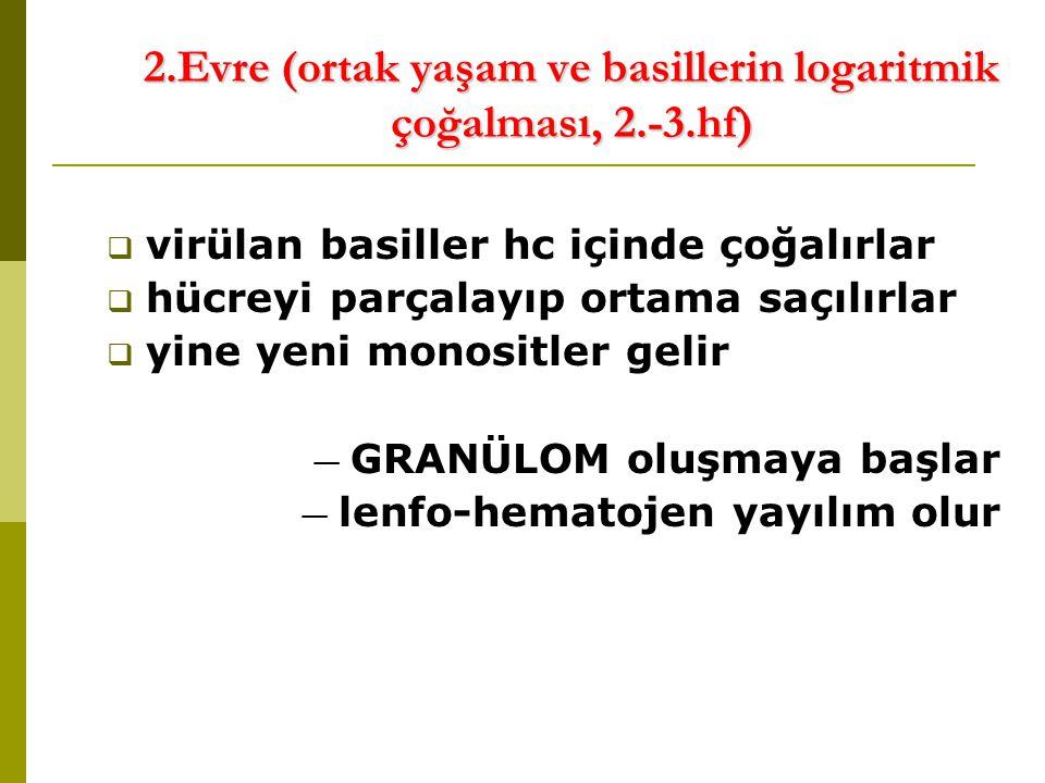 2.Evre (ortak yaşam ve basillerin logaritmik çoğalması, 2.-3.hf)