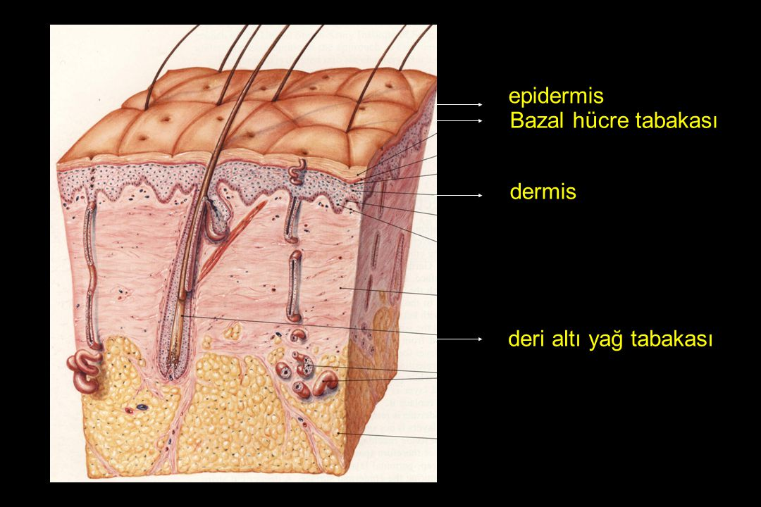 epidermis Bazal hücre tabakası dermis deri altı yağ tabakası