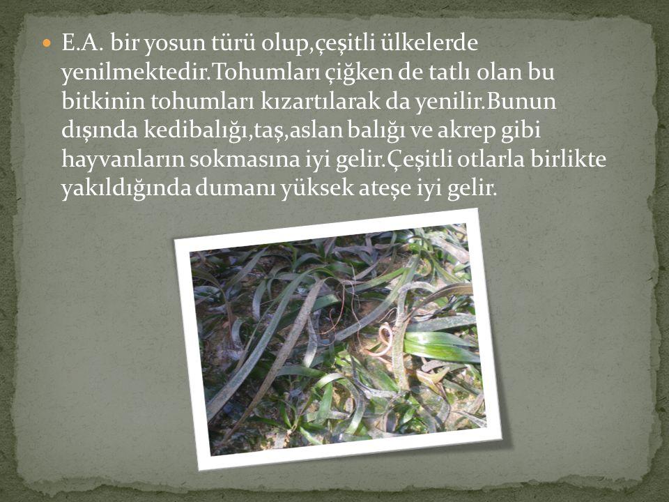 E. A. bir yosun türü olup,çeşitli ülkelerde yenilmektedir