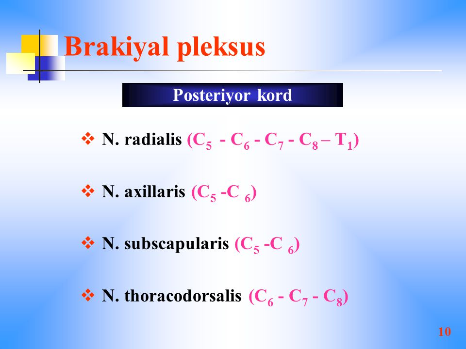 Brakiyal pleksus Posteriyor kord N. radialis (C5 - C6 - C7 - C8 – T1)