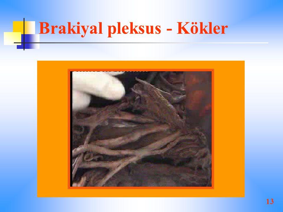 Brakiyal pleksus - Kökler