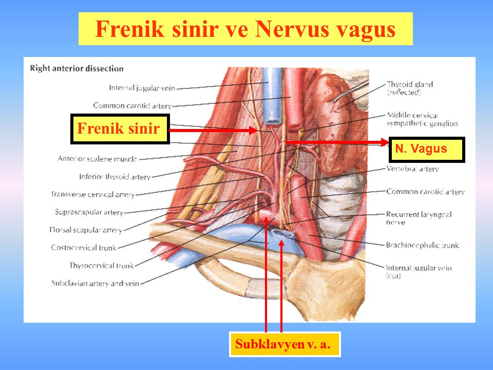 Frenik sinir ve Nervus vagus