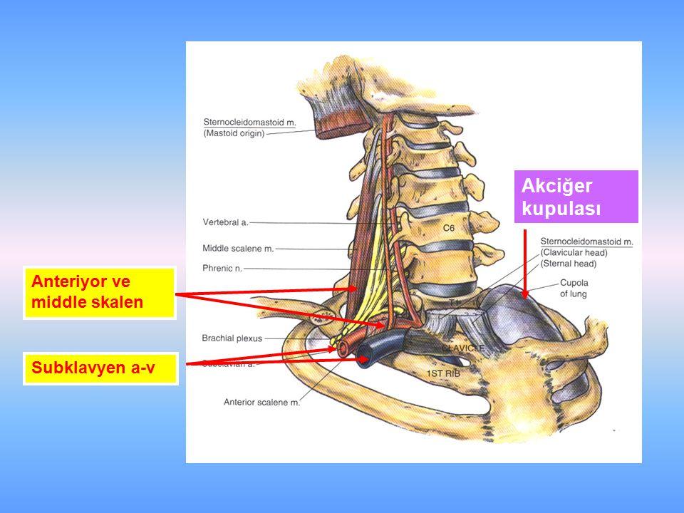 Akciğer kupulası Subklavyen a-v Anteriyor ve middle skalen