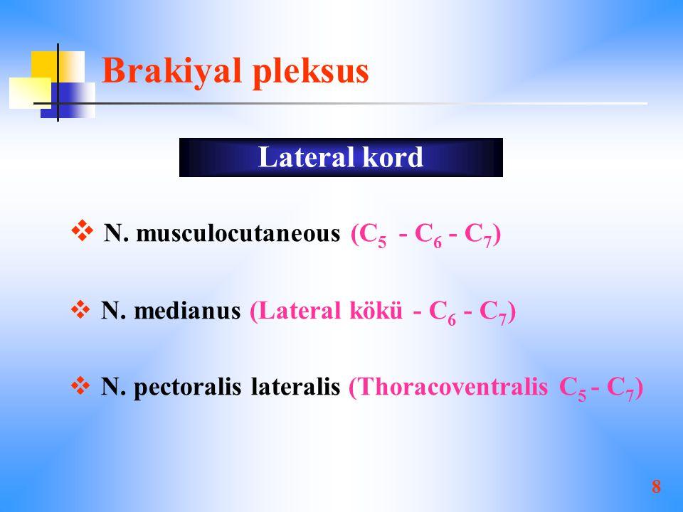Brakiyal pleksus Lateral kord N. musculocutaneous (C5 - C6 - C7)