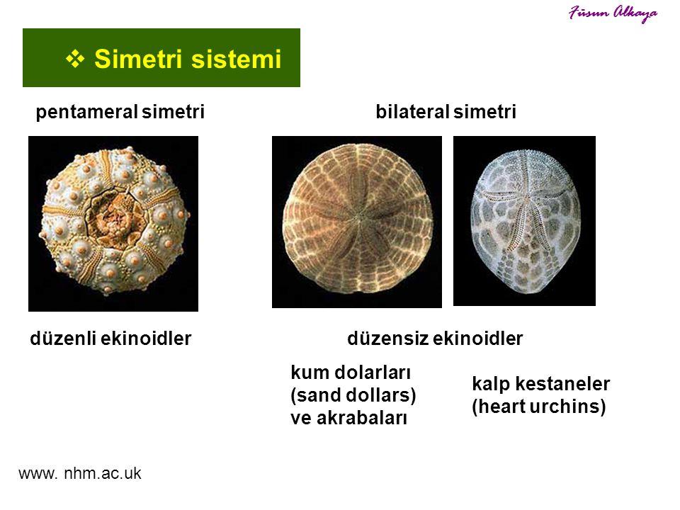Simetri sistemi pentameral simetri bilateral simetri