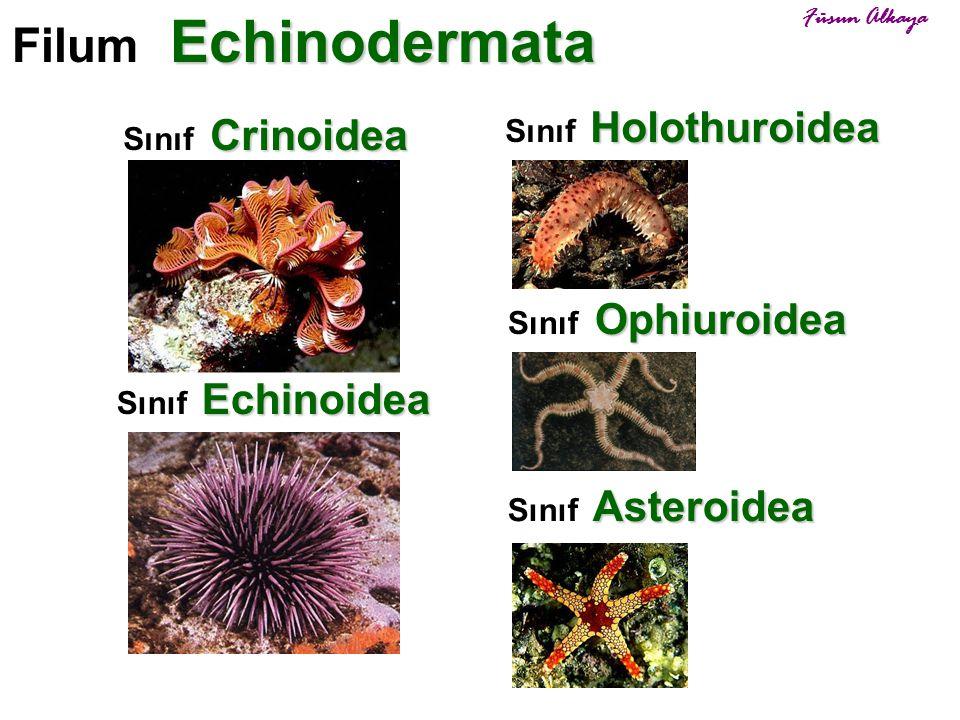 Filum Echinodermata Sınıf Holothuroidea Sınıf Crinoidea