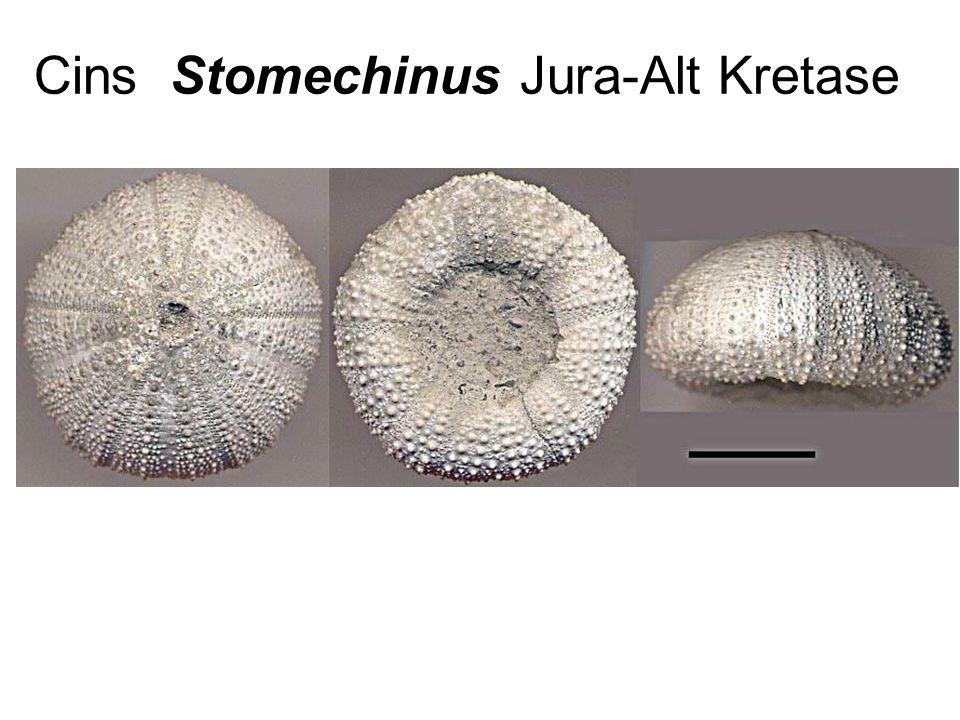 Cins Stomechinus Jura-Alt Kretase