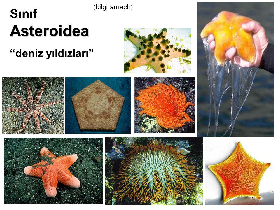 (bilgi amaçlı) Sınıf Asteroidea deniz yıldızları