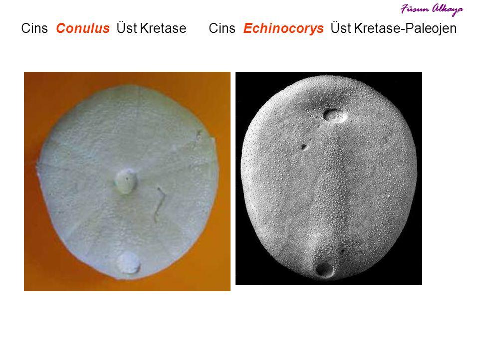 Cins Echinocorys Üst Kretase-Paleojen