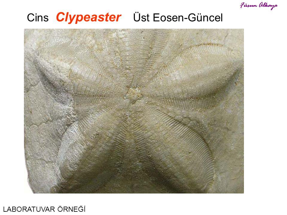 Cins Clypeaster Üst Eosen-Güncel
