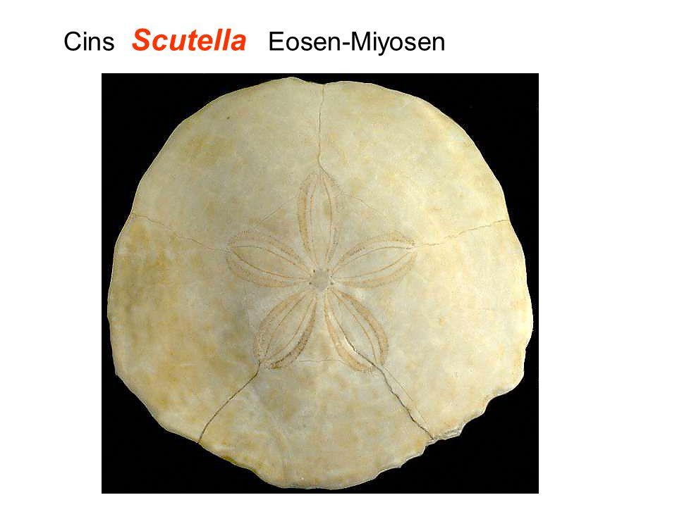 Cins Scutella Eosen-Miyosen