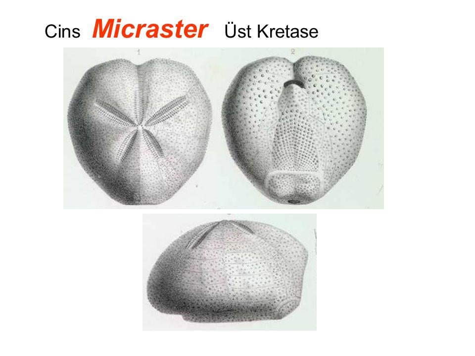 Cins Micraster Üst Kretase