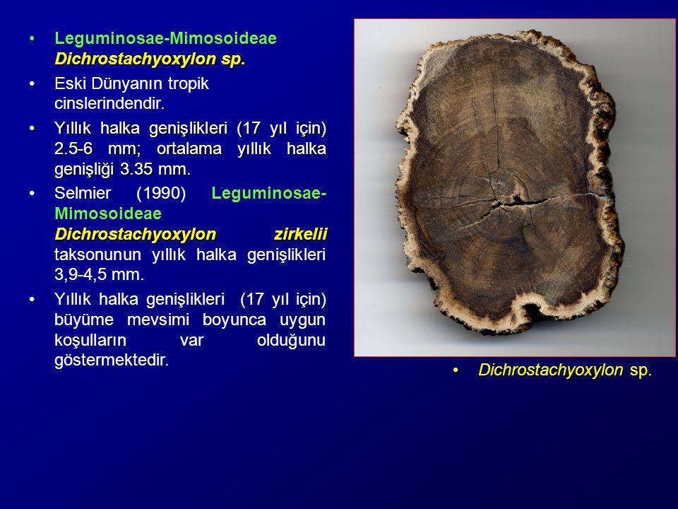 Leguminosae-Mimosoideae Dichrostachyoxylon sp.
