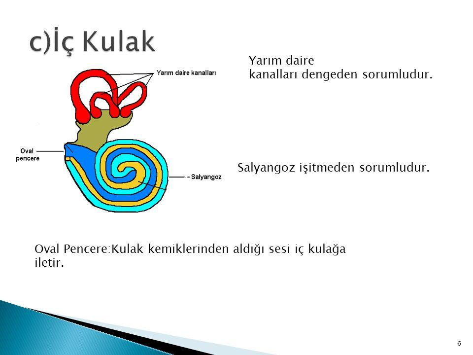 c)İç Kulak Yarım daire kanalları dengeden sorumludur.
