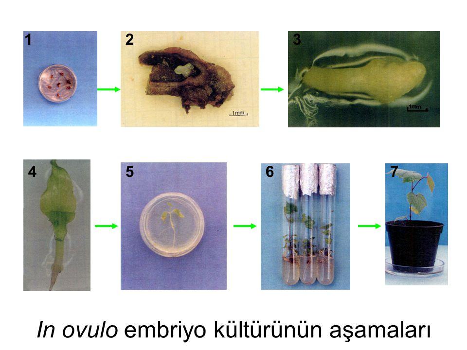In ovulo embriyo kültürünün aşamaları