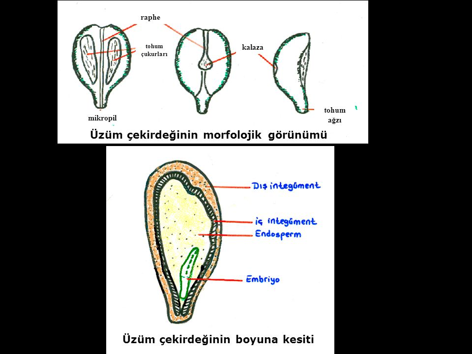 Üzüm çekirdeğinin morfolojik görünümü