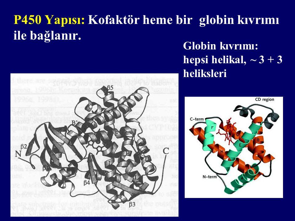 P450 Yapısı: Kofaktör heme bir globin kıvrımı ile bağlanır.