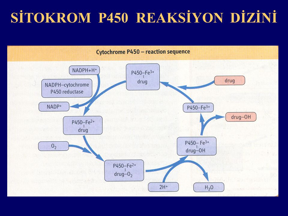 SİTOKROM P450 REAKSİYON DİZİNİ