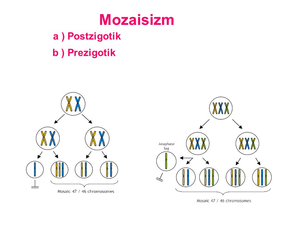 Mozaisizm a ) Postzigotik b ) Prezigotik