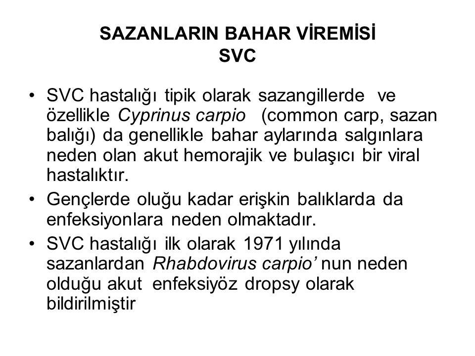 SAZANLARIN BAHAR VİREMİSİ SVC