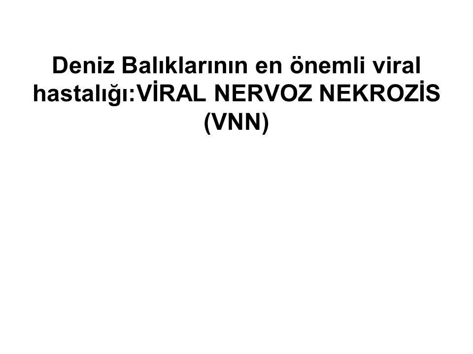 Deniz Balıklarının en önemli viral hastalığı:VİRAL NERVOZ NEKROZİS (VNN)