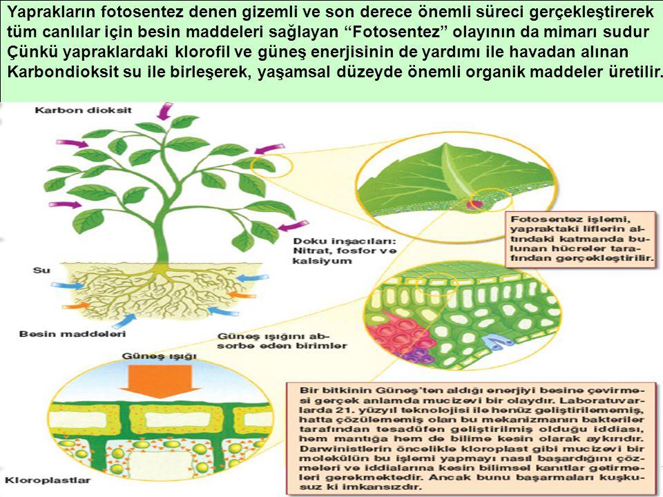Yaprakların fotosentez denen gizemli ve son derece önemli süreci gerçekleştirerek