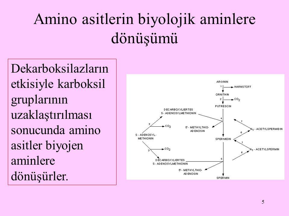 Amino asitlerin biyolojik aminlere dönüşümü