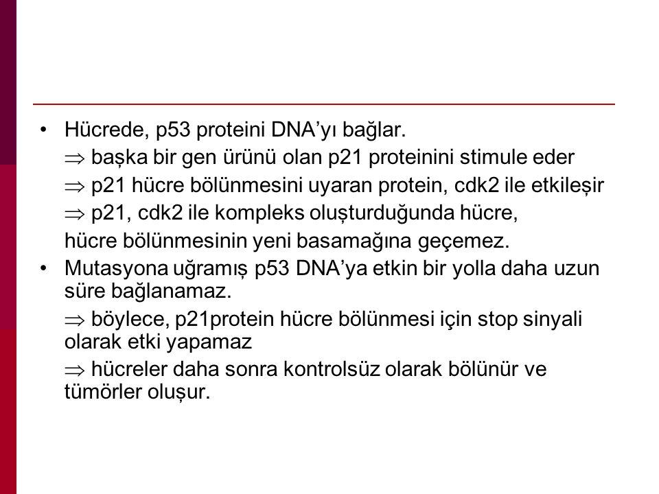 Hücrede, p53 proteini DNA'yı bağlar.