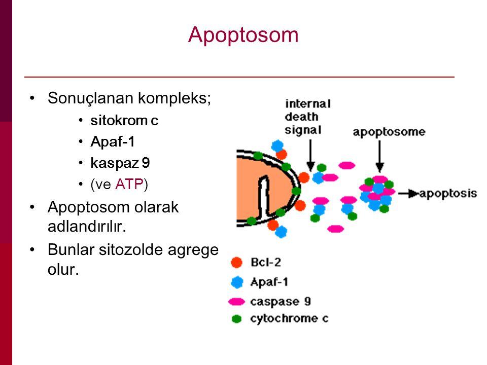 Apoptosom Sonuçlanan kompleks; Apoptosom olarak adlandırılır.