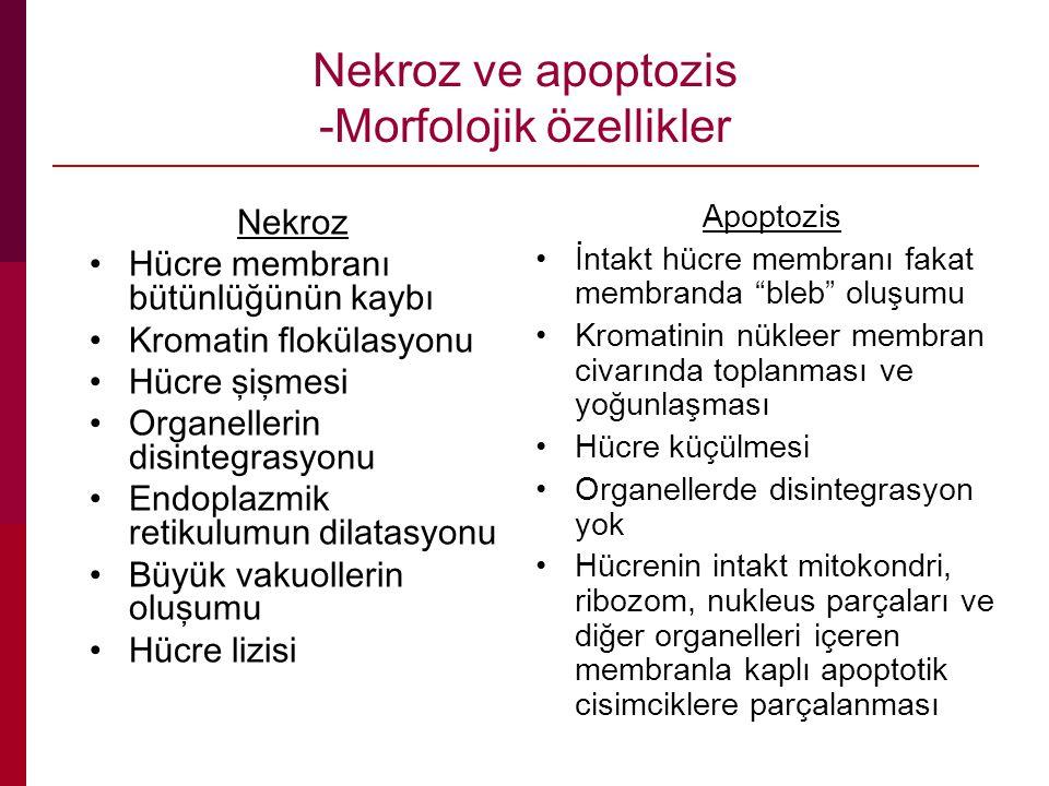Nekroz ve apoptozis -Morfolojik özellikler