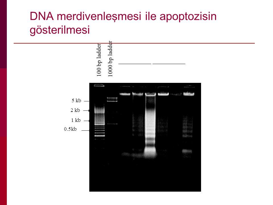 DNA merdivenleşmesi ile apoptozisin gösterilmesi