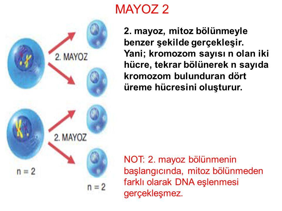 MAYOZ 2 2. mayoz, mitoz bölünmeyle benzer şekilde gerçekleşir.