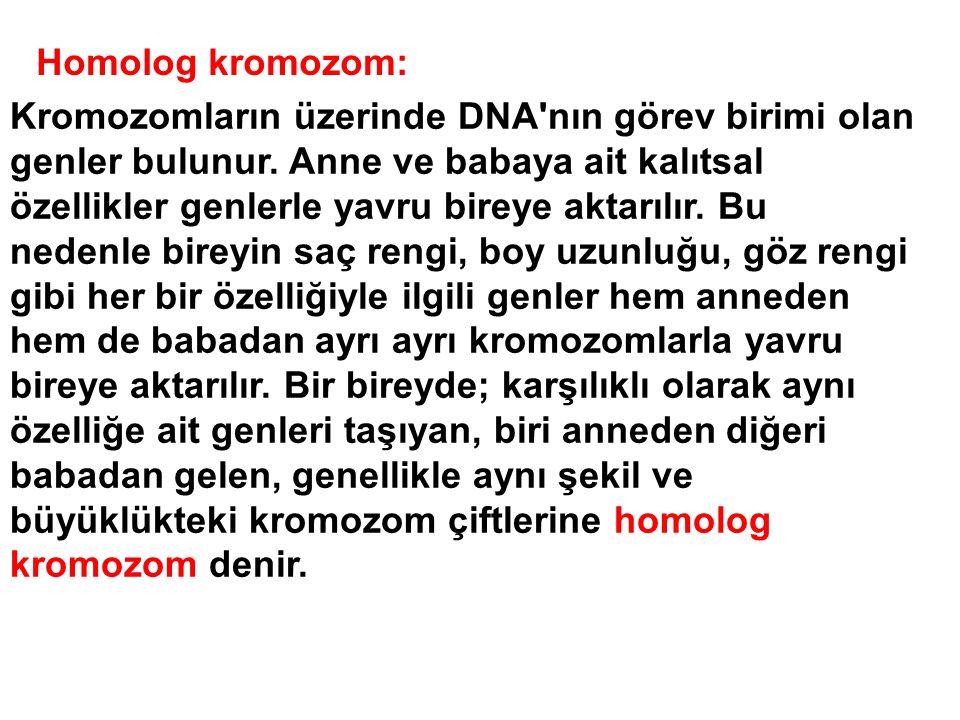 Homolog kromozom: