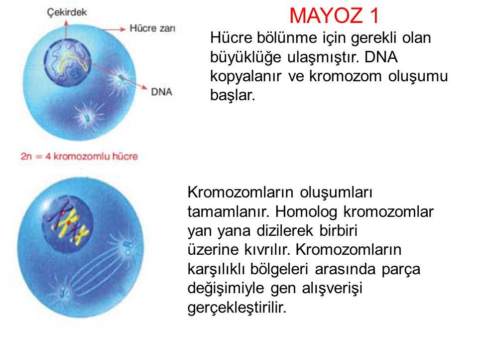 MAYOZ 1 Hücre bölünme için gerekli olan büyüklüğe ulaşmıştır. DNA kopyalanır ve kromozom oluşumu başlar.