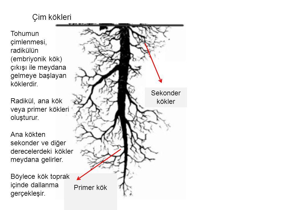 Çim kökleri Tohumun çimlenmesi, radikülün (embriyonik kök) çıkışı ile meydana gelmeye başlayan köklerdir.