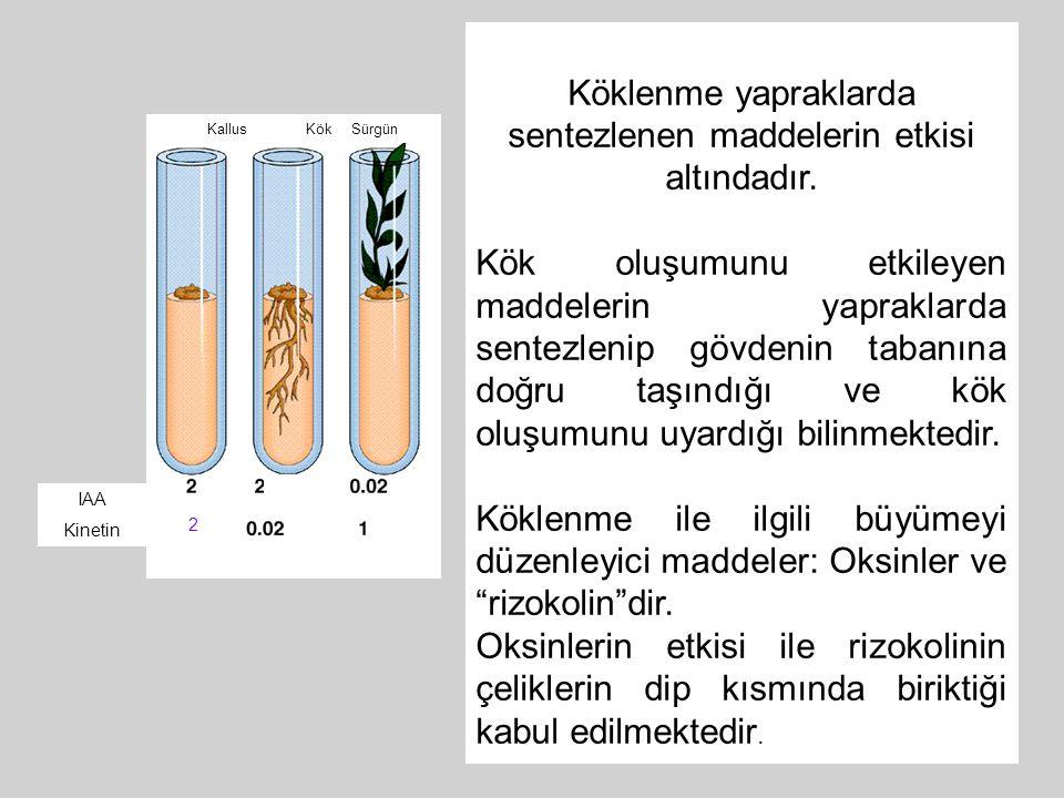 Köklenme yapraklarda sentezlenen maddelerin etkisi altındadır.