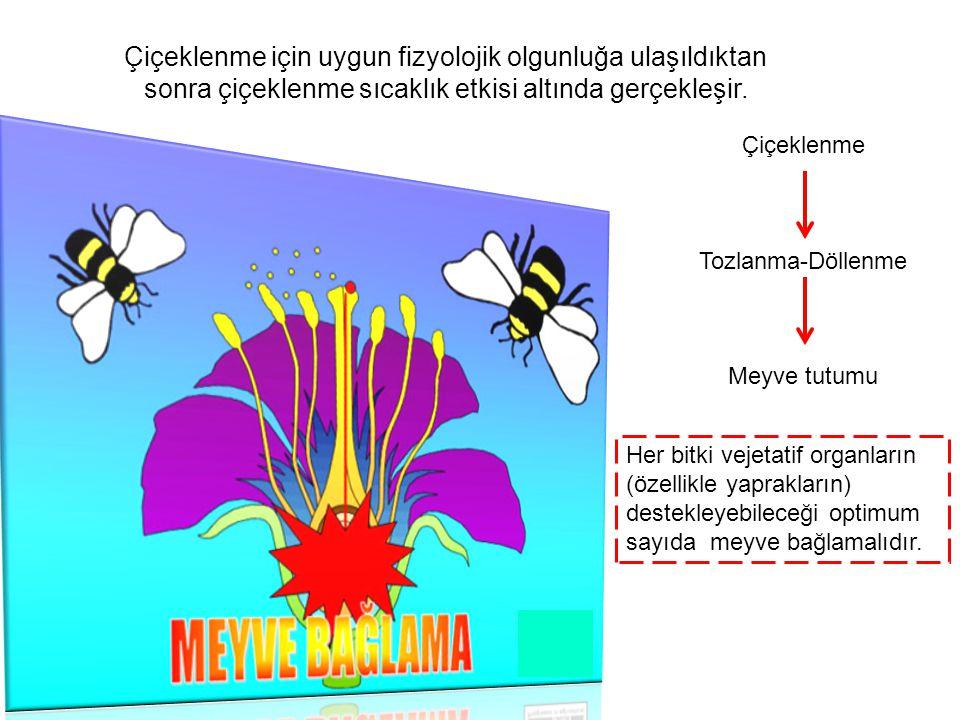 Çiçeklenme için uygun fizyolojik olgunluğa ulaşıldıktan sonra çiçeklenme sıcaklık etkisi altında gerçekleşir.