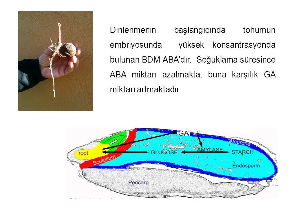 Dinlenmenin başlangıcında tohumun embriyosunda yüksek konsantrasyonda bulunan BDM ABA'dır.