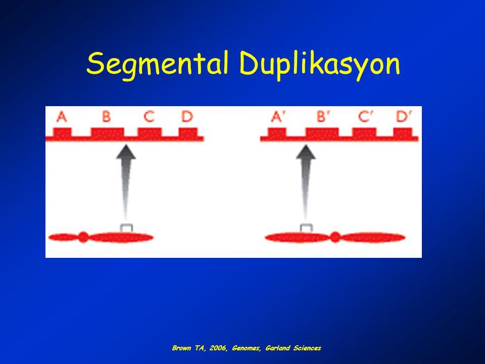 Segmental Duplikasyon