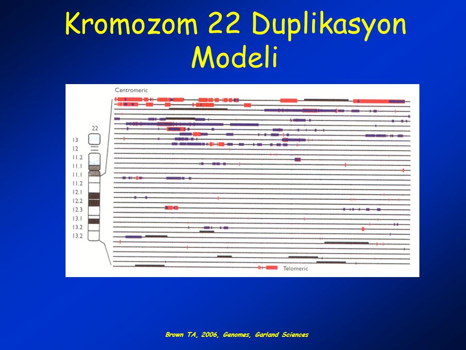 Kromozom 22 Duplikasyon Modeli
